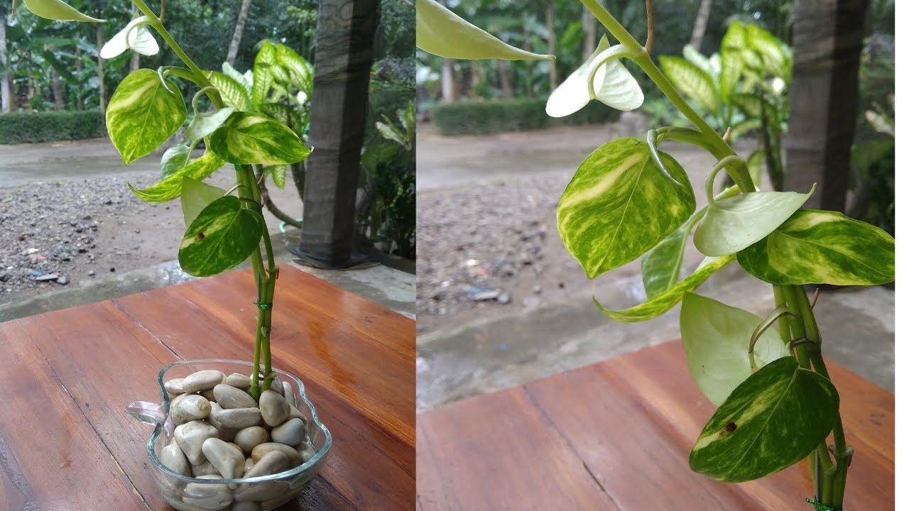 Money Plant Growing Like Tree Style In Water Golden Pothos Neon Poth In 2020 Plants Neon Pothos Golden Pothos