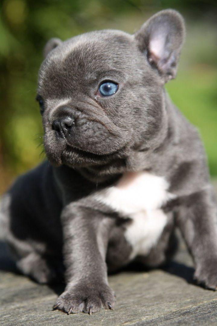 000 Regalo Cachorros De Bulldog Francés Azul Buscando Sus