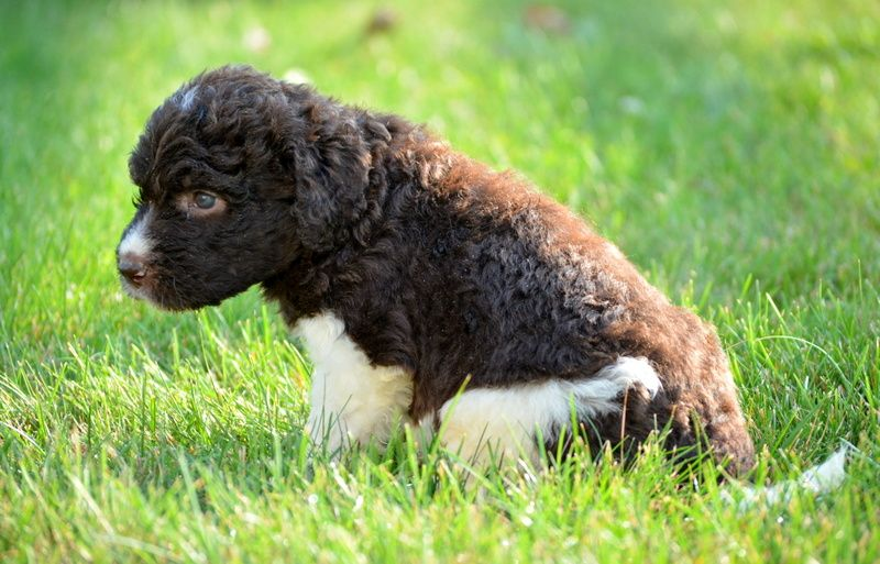 Gorgeous Newfypoo Puppies Up For Adoption Newfiedoodle Newfypoo Newfy Poodle Puppy Puppies Newfypoopuppies F1b With Images Puppies Puppies For Sale Poodle