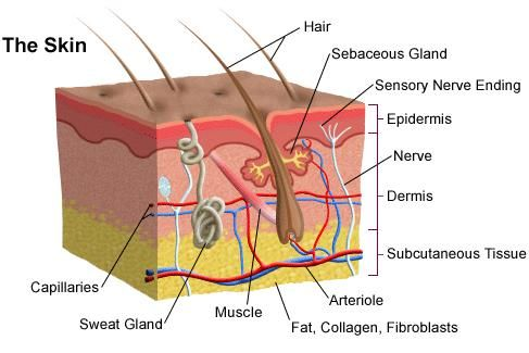 Skin Cross Section Diagram Briggs And Stratton Parts The Integumentary System Hair Nails This Pic Is A Of