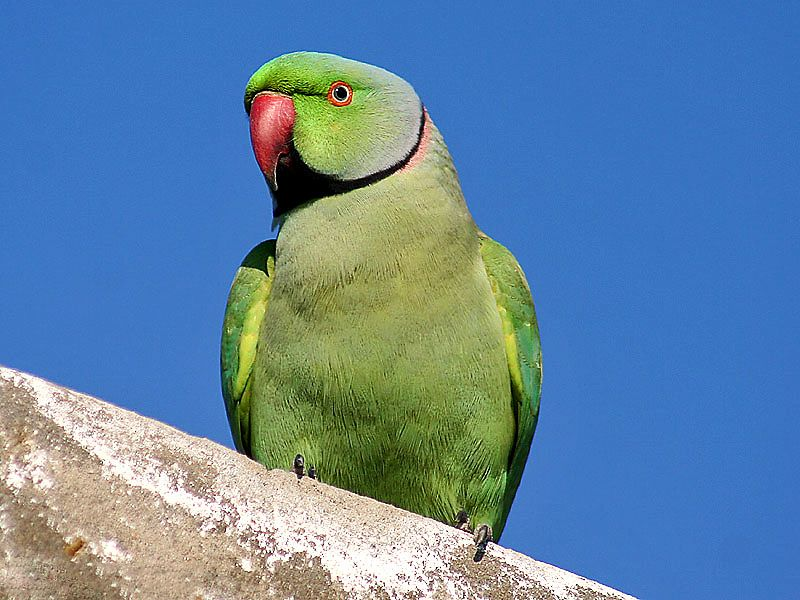 The Ringneck Rose Ringed Parakeet A Great Pet And Unlikely Nyc Resident Part 1 Parakeet Parrot Pets