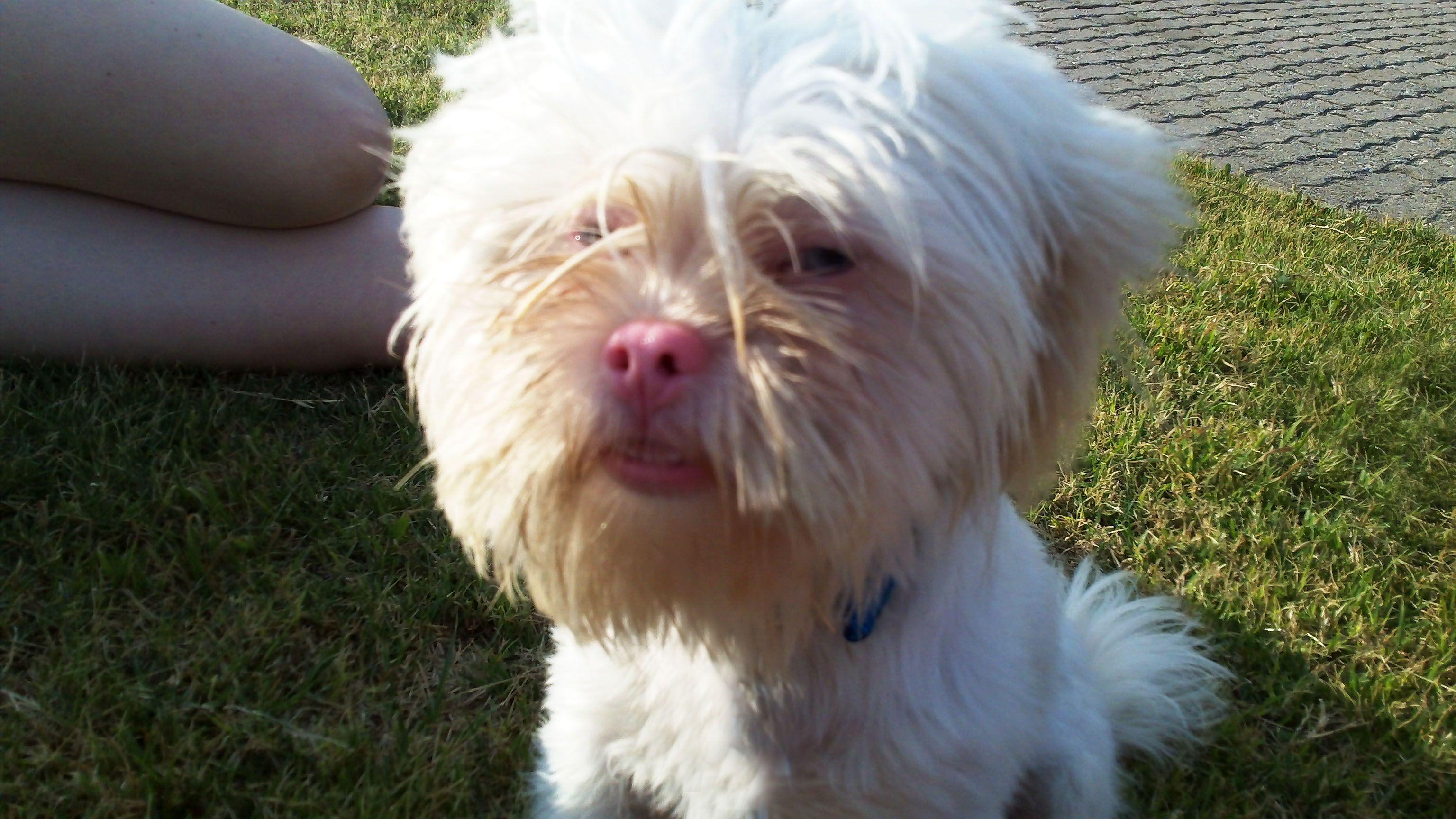 Shih Tzu Albino Shih Tzu Doggy All Breeds Of Dogs