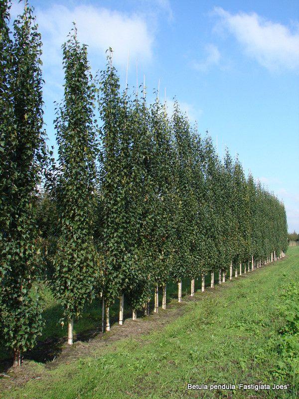 betula pendula fastigiata joes bomen trees pinterest betula pendula landscaping ideas. Black Bedroom Furniture Sets. Home Design Ideas