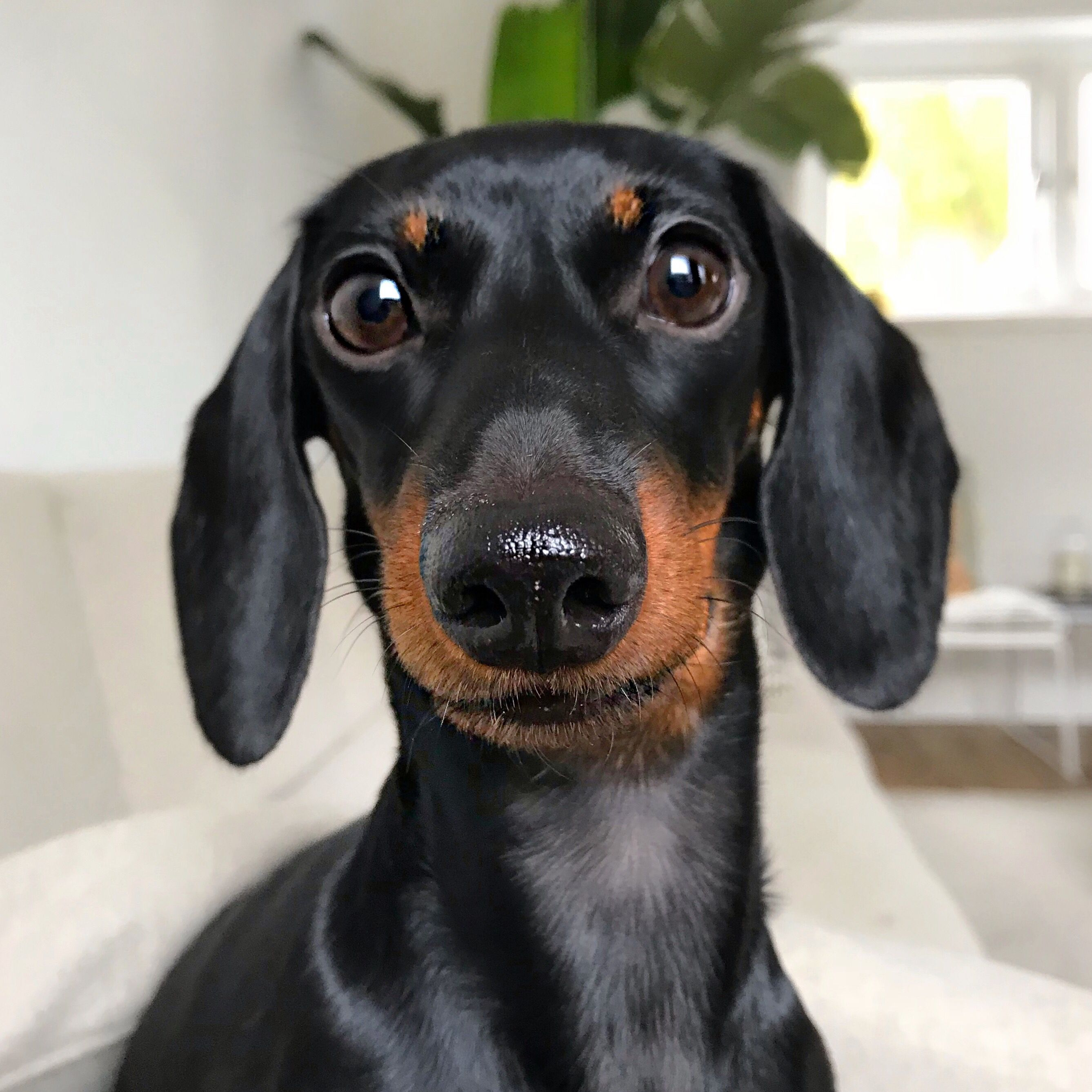 Beautiful Dachshund Mom And A Lovely Puppy Video In 2020 Cute Baby Animals Funny Animal Videos Cute Animals