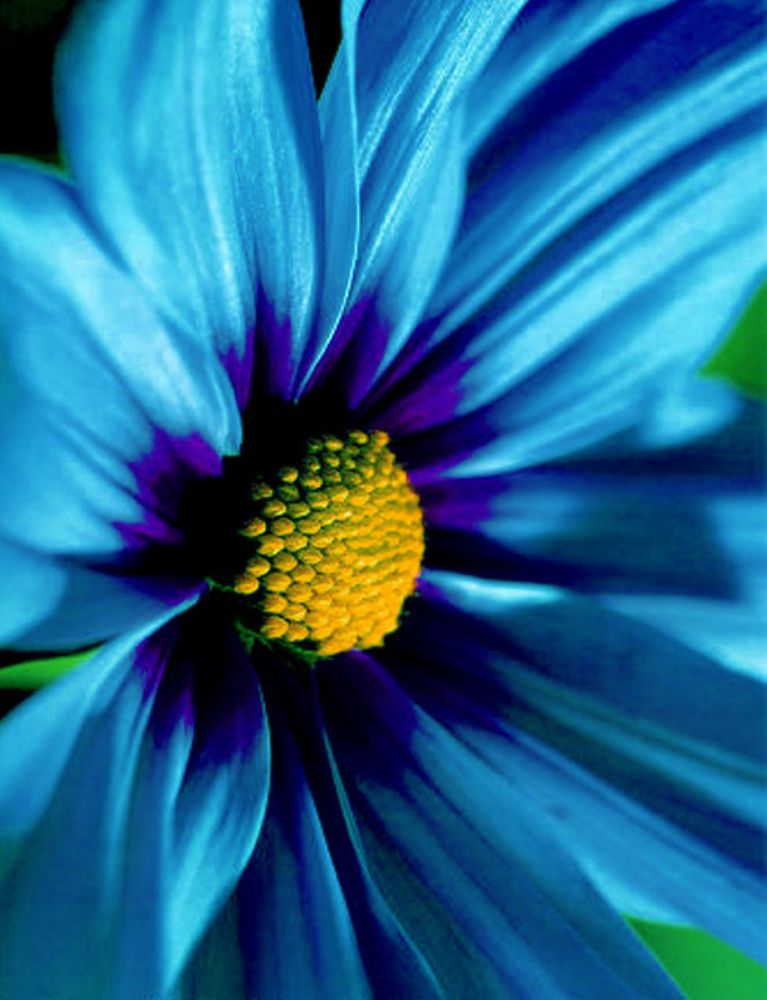 Blue Daisy...in my bouquet ♥
