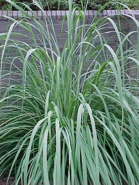 Saccharum Ravennae Plume Grass Best Perennials Ornamental