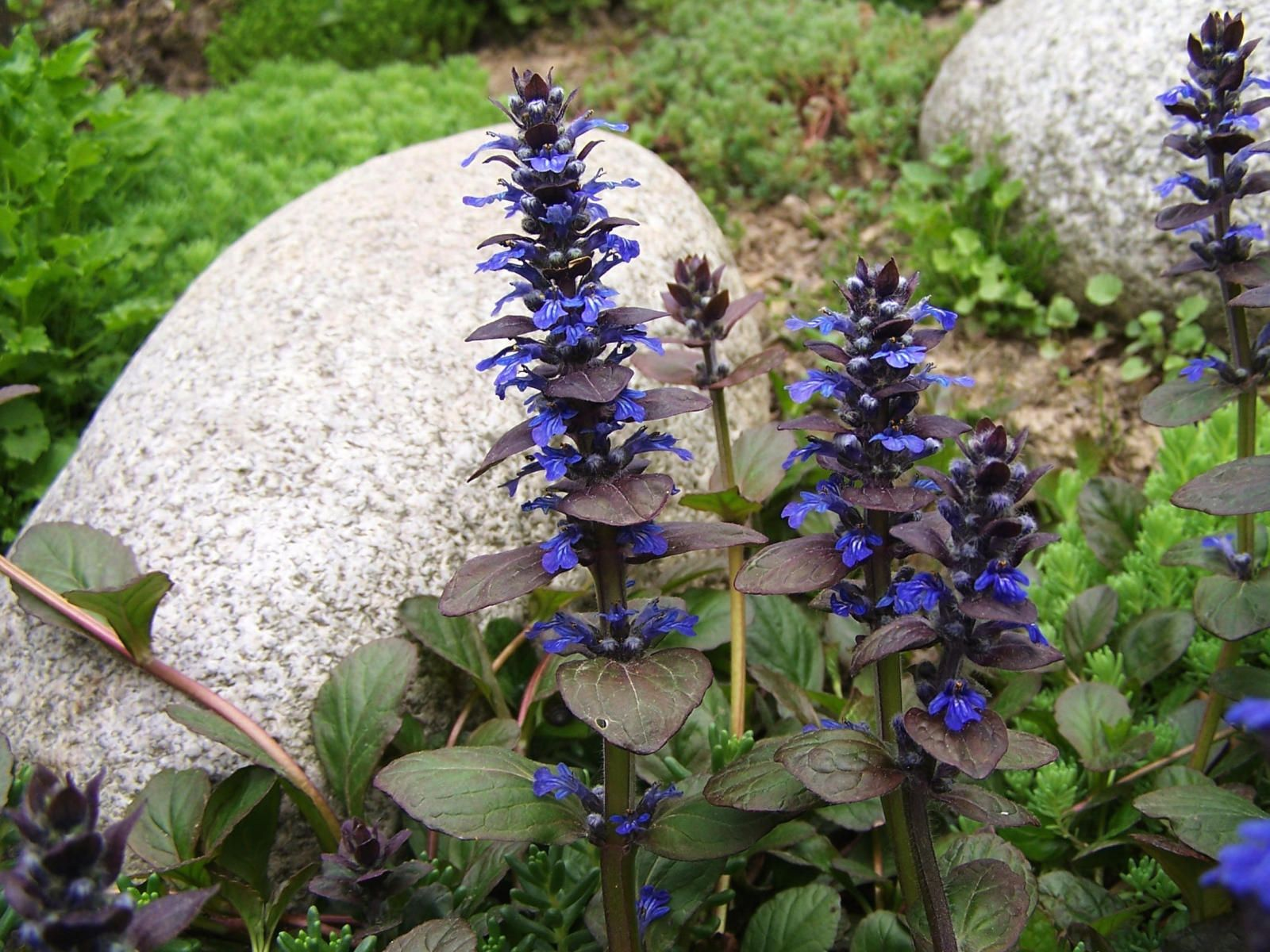 Ajuga reptans bugle loved by pollinators and forms lovely dense loved by pollinators and forms lovely dense dark green ground cover with blue flower spikes izmirmasajfo
