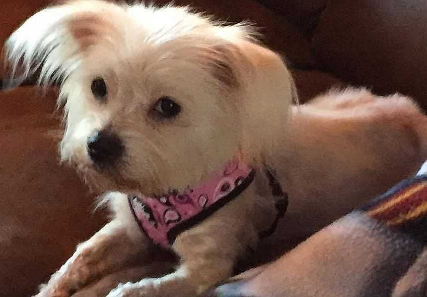 Maltese Dog For Adoption In Boston Ma
