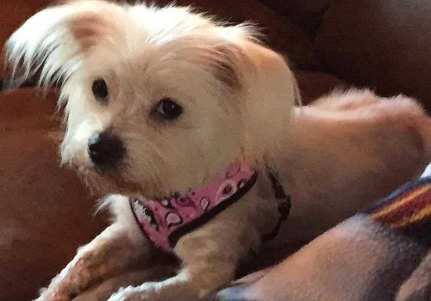 Maltese Dog For Adoption In Boston Ma