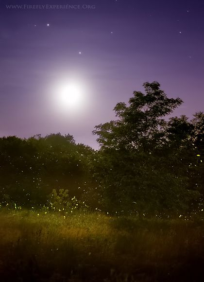 Firefly Experience Photographs Of Lightning Bugs And Photos Of