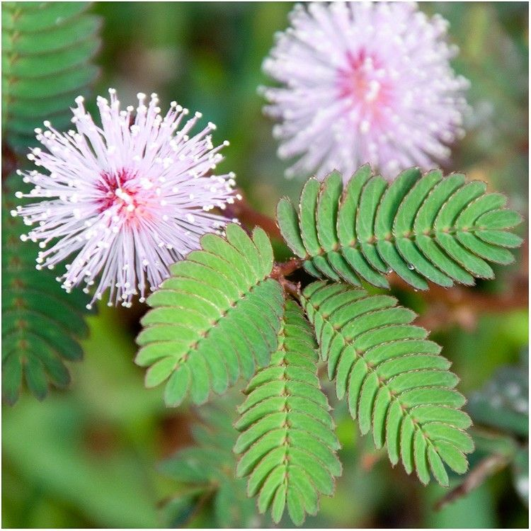 Pin By Mygardenway On Gardening Tips Sensitive Plant Plants Mimosa Plant
