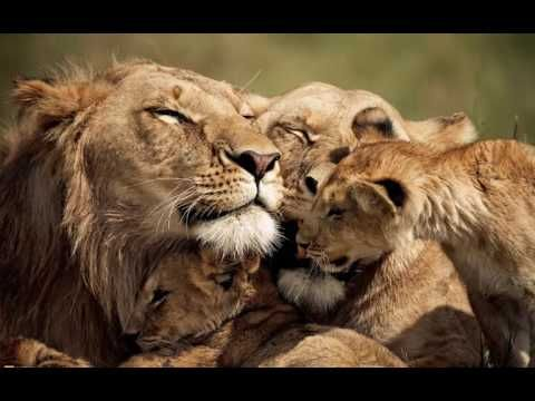Best Lion Compilation in November 2016       Share with friends if you love this video   Best Lion ...