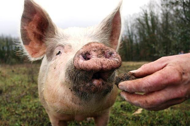 Truffle Hunting Pig Happy Animals Pig Truffles