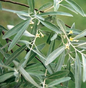 Olivier : entretien, taille et maladies des oliviers | Maladie des ...