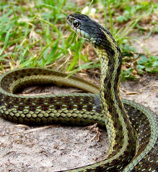 Eastern Garter Snake Southeast Missouri Snake Poisonous Snakes