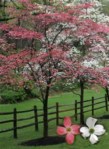 Pink And White Dogwoods Next To A Lovely Fence Dogwood Tree Landscaping Pink Dogwood Tree Dogwood Trees