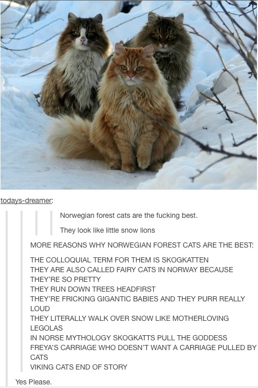 I M Not A Cat Person And Even I Want One Lolsnaps Norwegian Forest Cat Cat Person Forest Cat