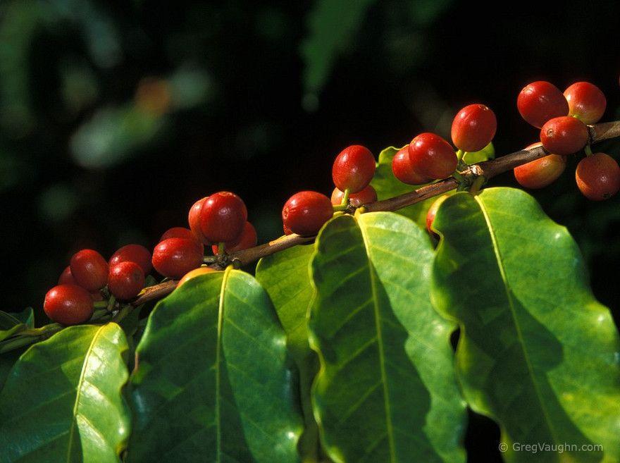 Kona Coffee Tree Hawaii Coffee Bean Tree Coffee Plant Coffee Farm