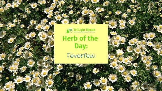 Herb Of The Day Feverfew Herbs Herbalism Easy Herbs