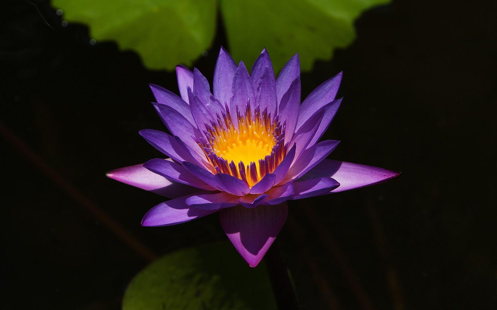 Lotus flower purple flowers hd wallpaper inspiring art pinterest lotus flower purple flowers hd wallpaper mightylinksfo