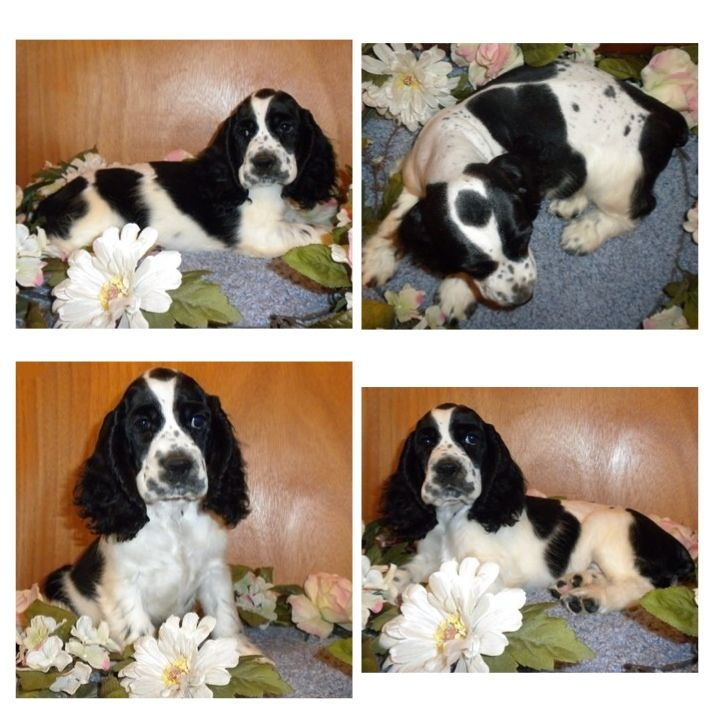 Milky Way At Ten Weeks Old Him Twix And Reeses Are All Black And White Which I Think Is Kinda Fun Cocker Spaniel Puppies White Cocker Spaniel Cocker Spaniel