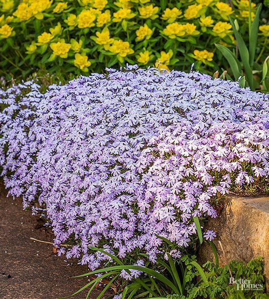 Carpet Sunny Spots In Your Landscape With Moss Phlox Growing Just 6 Inches Tall Moss Phlox Forms A Dense M Ground Cover Plants Drought Tolerant Plants Plants