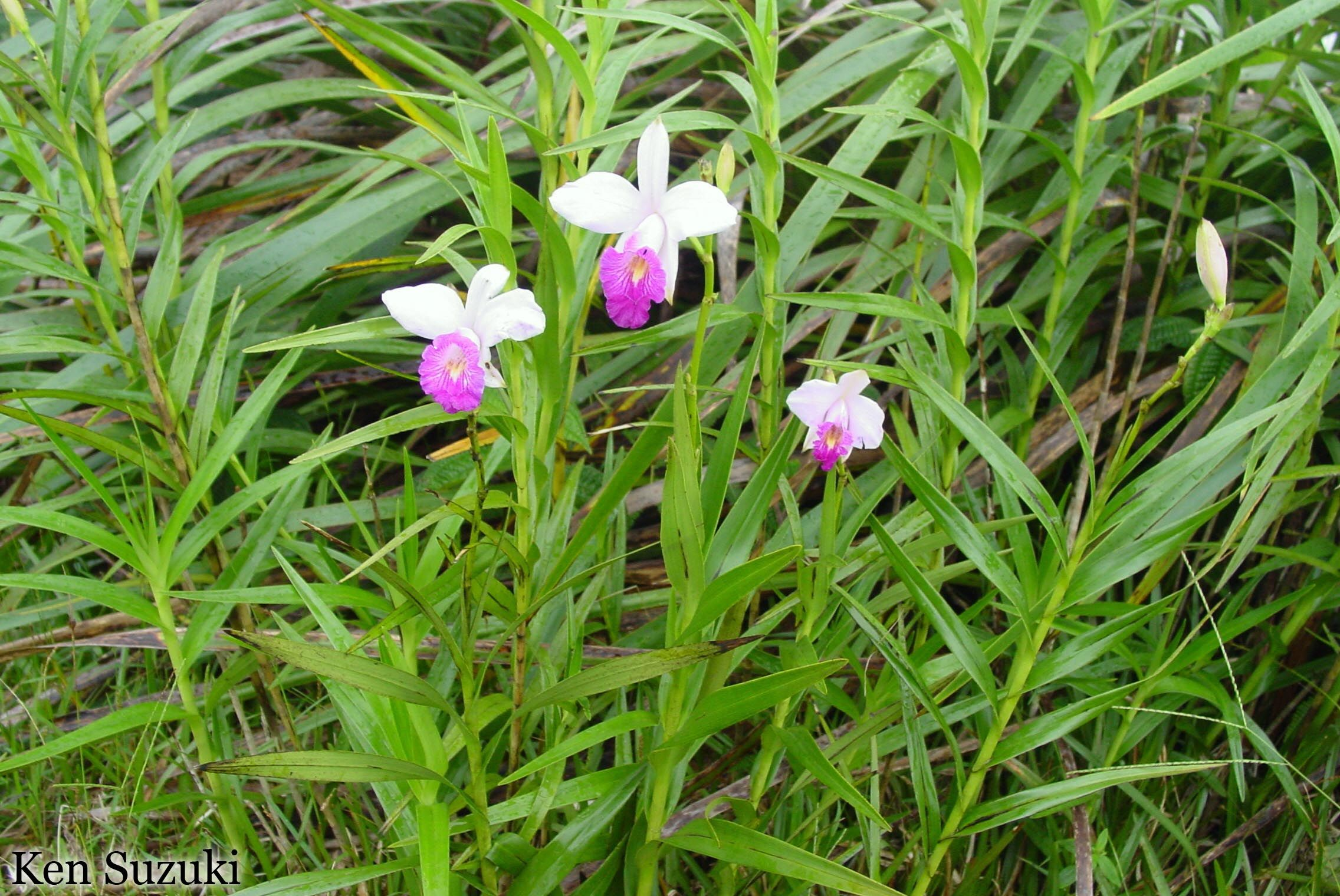 Trailside Plants In Hawaii Bamboo Orchid Orchids Garden Diary Plants