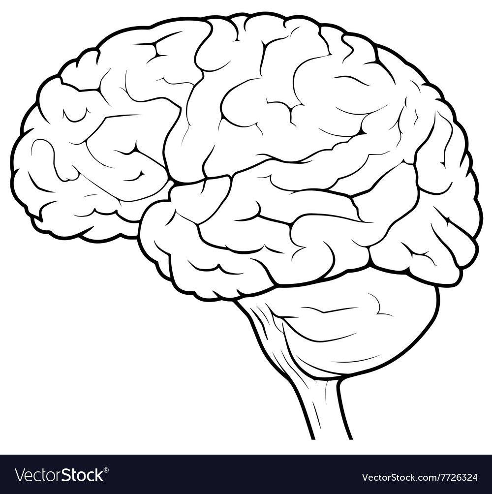 Human Brain Side View vector image on VectorStock | Brain ...