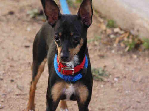 Sookie Is An Adoptable Miniature Pinscher Dog In Austin Tx
