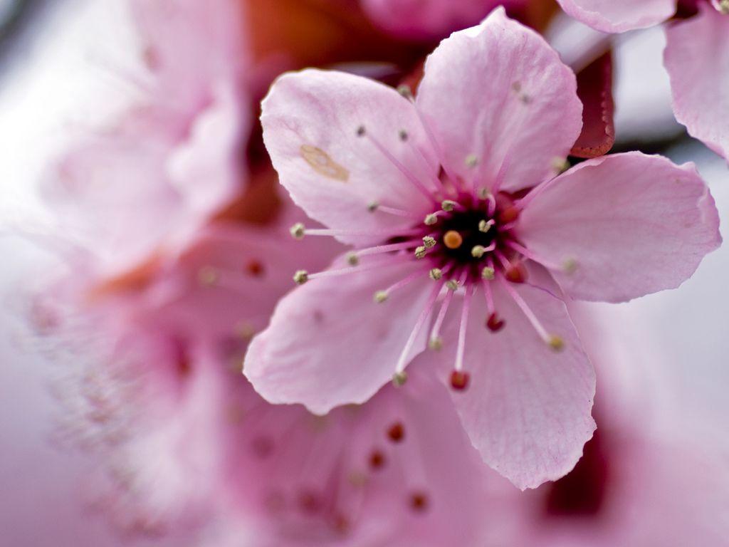 Cherry Blossom Closeup Cherry Blossom Flowers Blossom Flower Blossom Trees