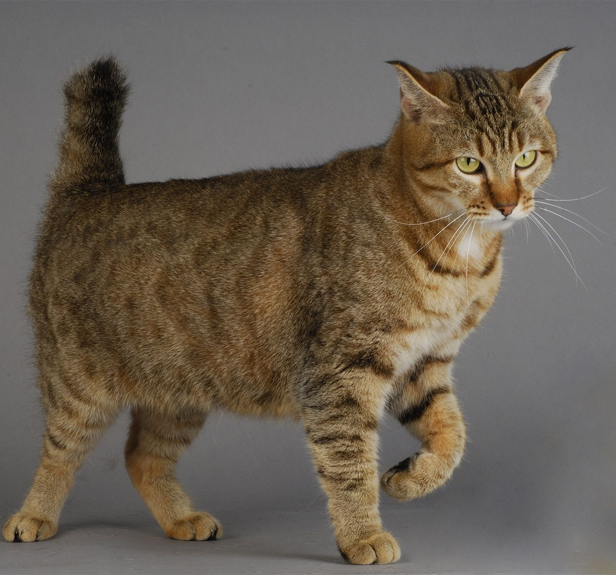 Pixie Bob Cat A Comprehensive Guide From The Happy Cat Site Domestic Cat Breeds Pixie Bob Cats Cat Breeds