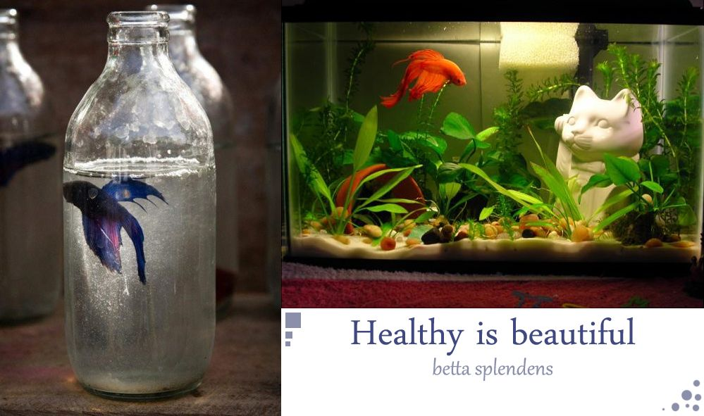 Betta fish have such beautiful fins. Treat them right and they will shine and show their true beauty! #betta #fish