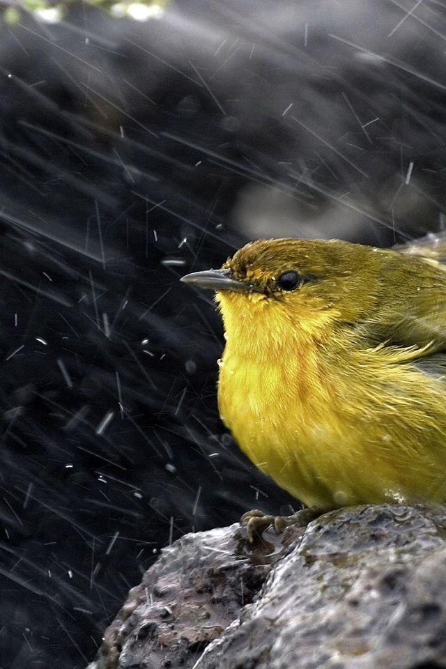 Rain Rain Go Away Birds Rain Bird Bird Wallpaper