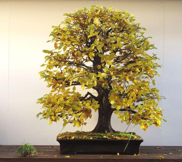Pin Von Rada Auf Bonsaj Bonsai Baum Bonsai Und Hainbuche