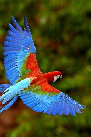 Macaw in flight.  Breathtaking!