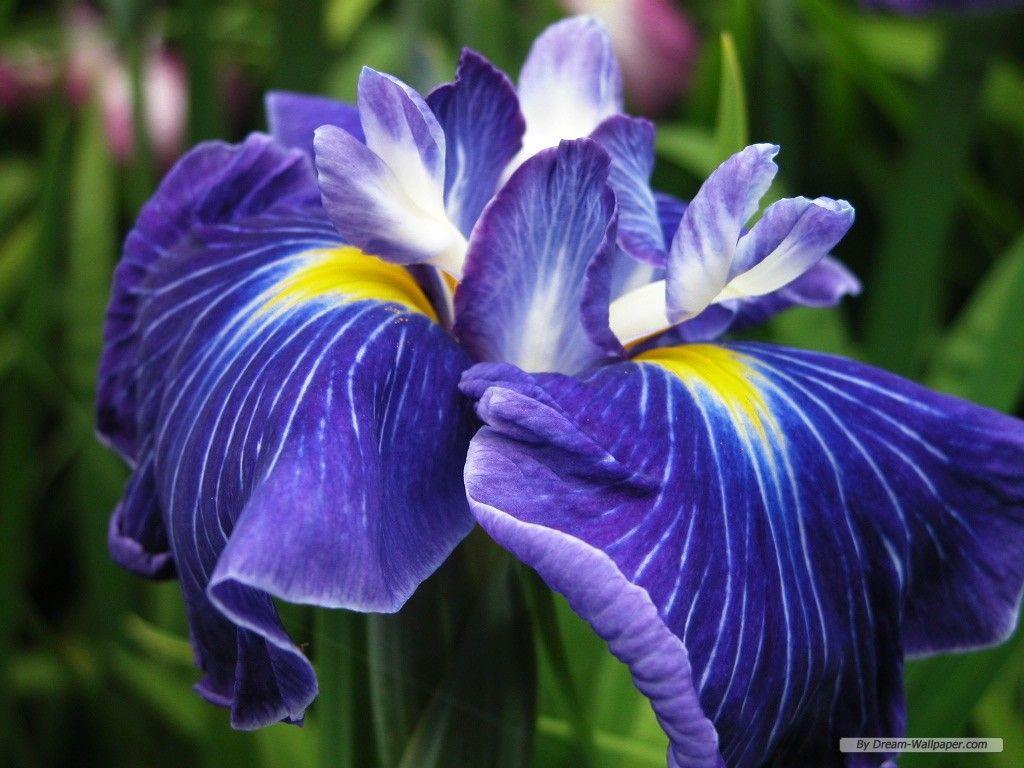 Bearded iris blue purple desktop wallpaper i flowers over free flower wallpaper iris flower 20 wallpaper in dream wallpaper izmirmasajfo Images