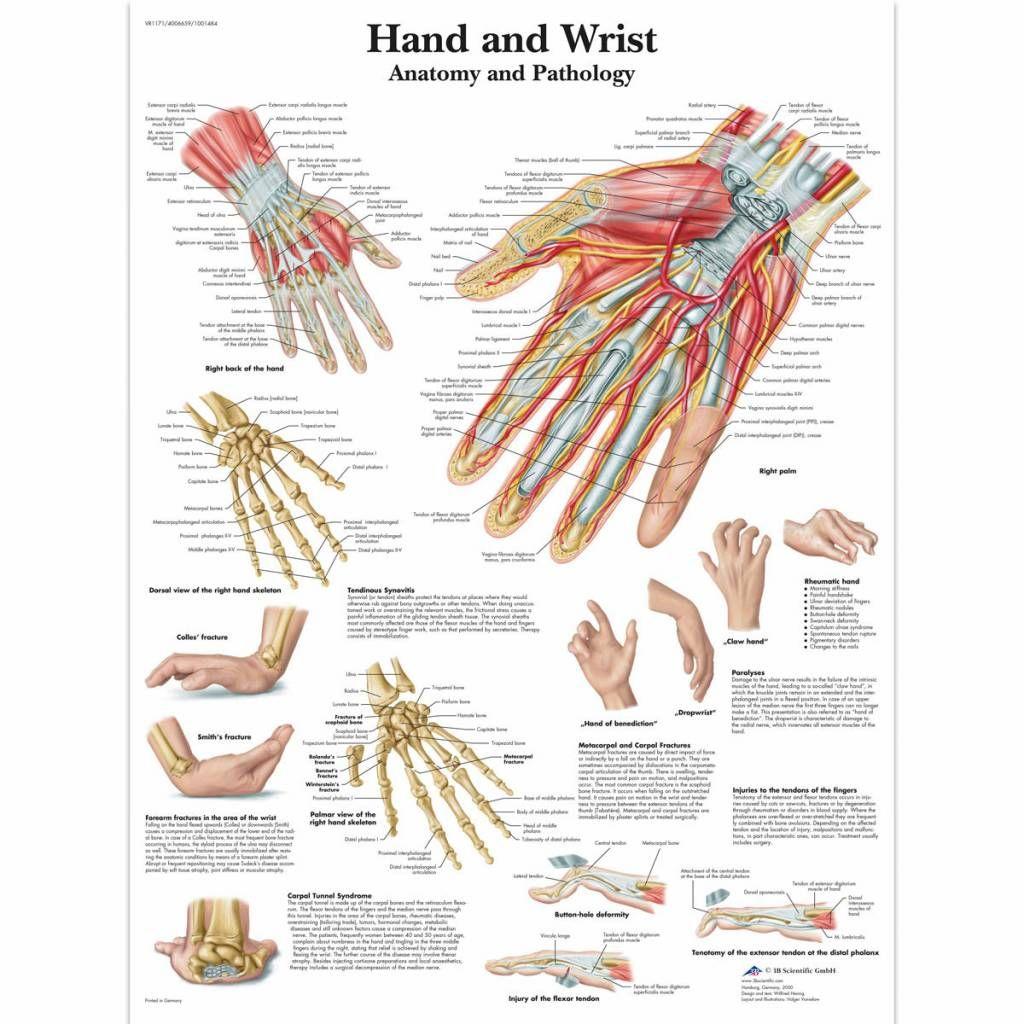 Poster anatomie Hand and Wrist - Disporta Eerstelijn B.V. ...