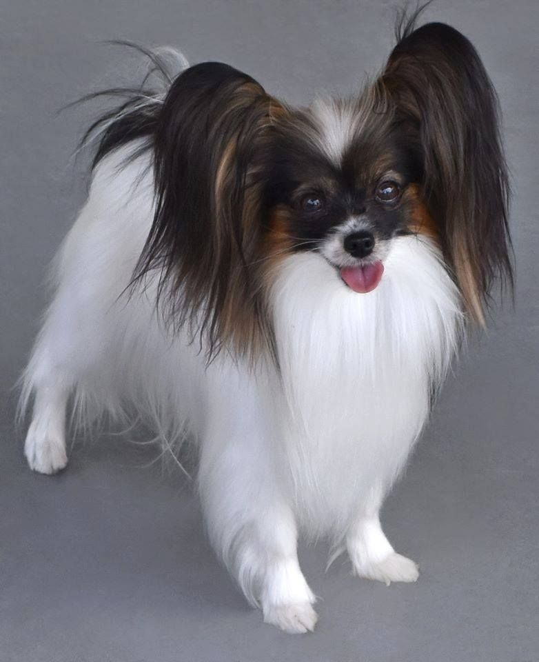 pouffy grooming job for the WIN! Papillon dog, Papillon