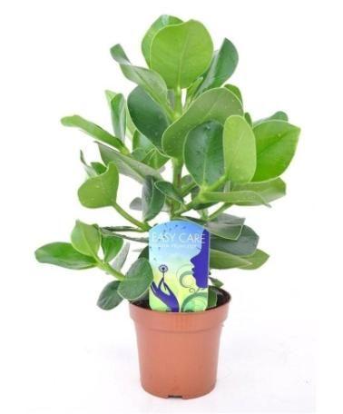 grön växt med tjocka blad