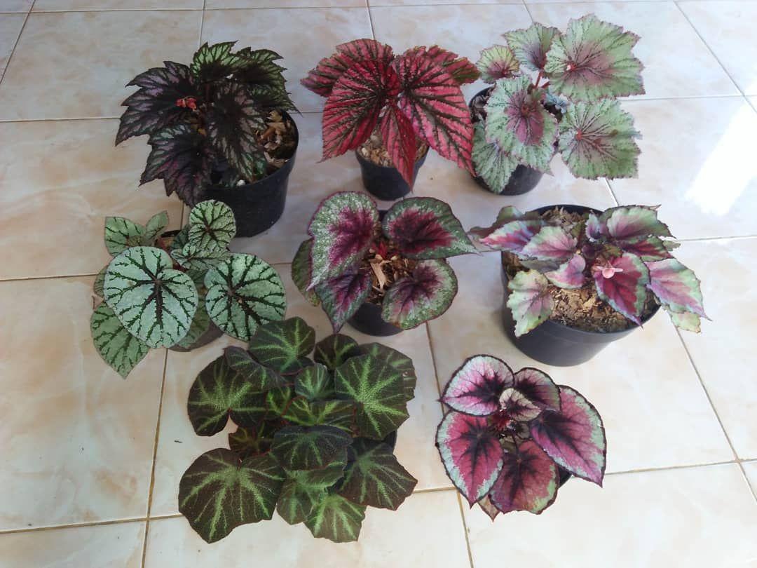 Begonia Varieties Com Imagens Jardins Pequenos