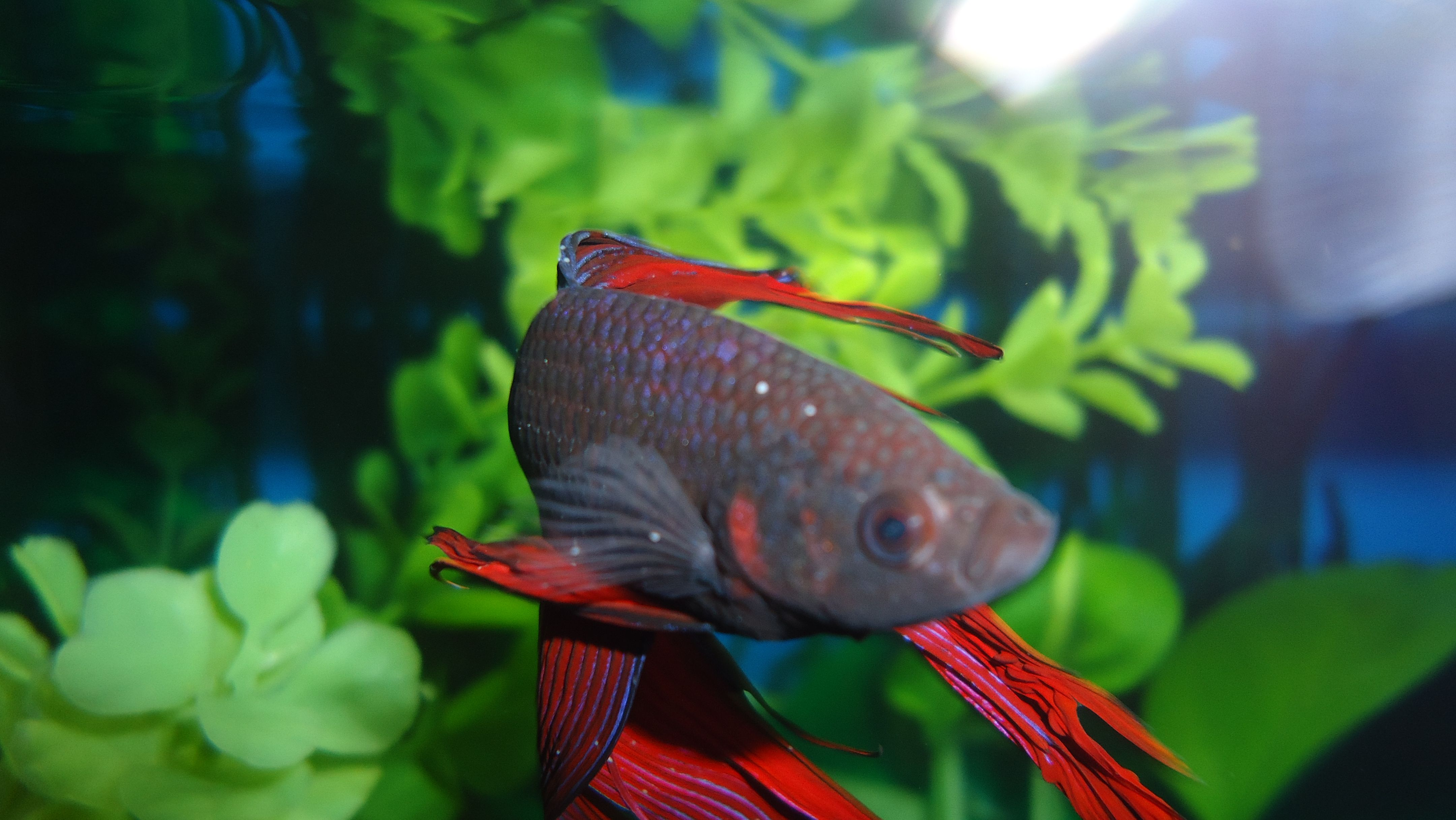Ich in bettas | Betta Plant Aquarium | Pinterest | Freshwater fish ...