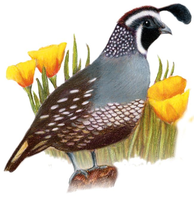 California State Bird And Flower Print Available At Http Www Feenixx Gallery Com State Birds And Flowers Oklahoma State Bird And F State Birds Bird Bird Art