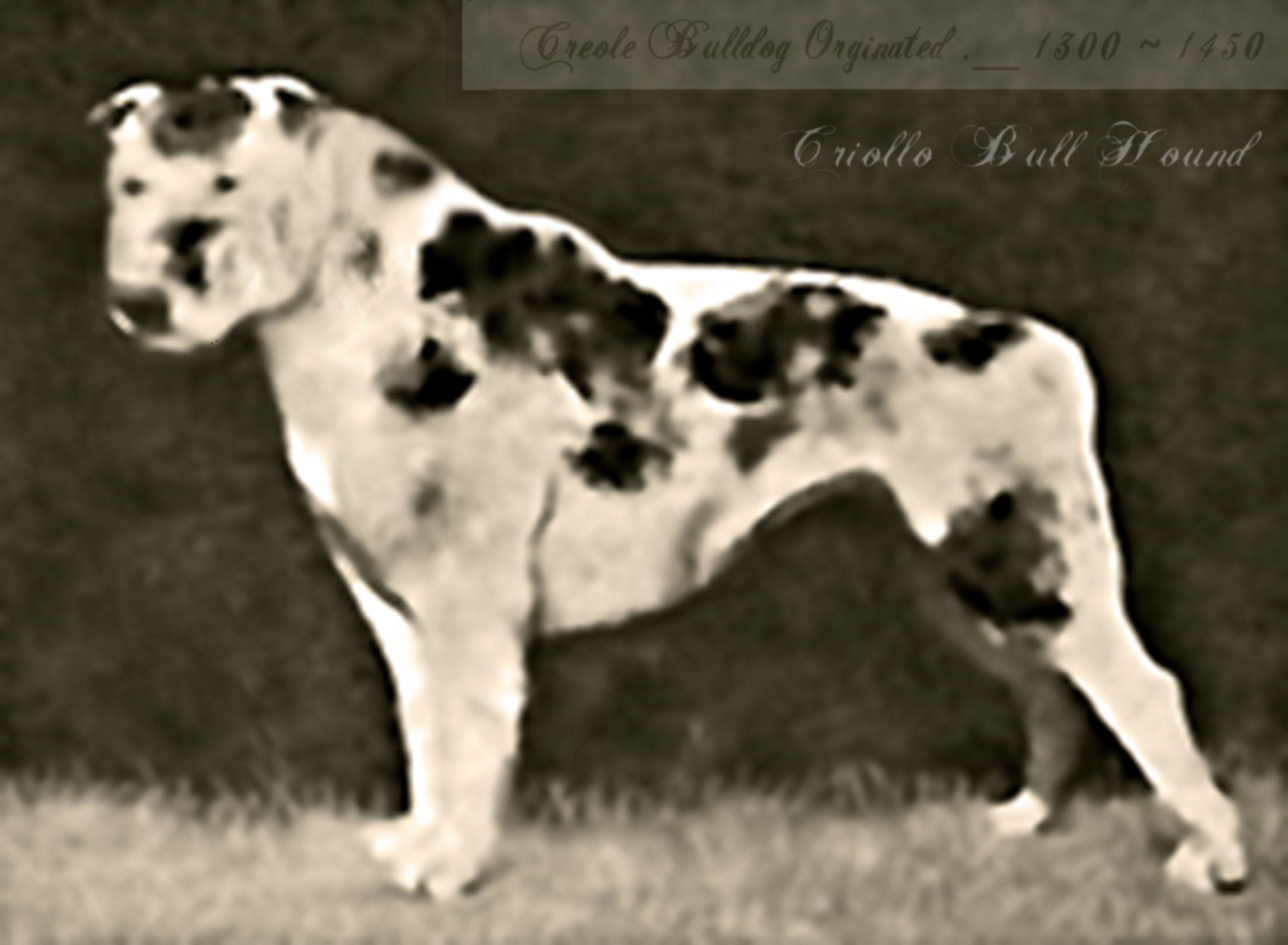 Criollo Hound Creole Bulldog Circa 1300 S Extinct Dog Breed