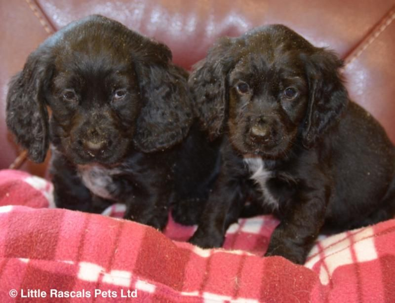 Lively Cocker Spaniel Puppies Pedigree Puppies For Sale Cocker