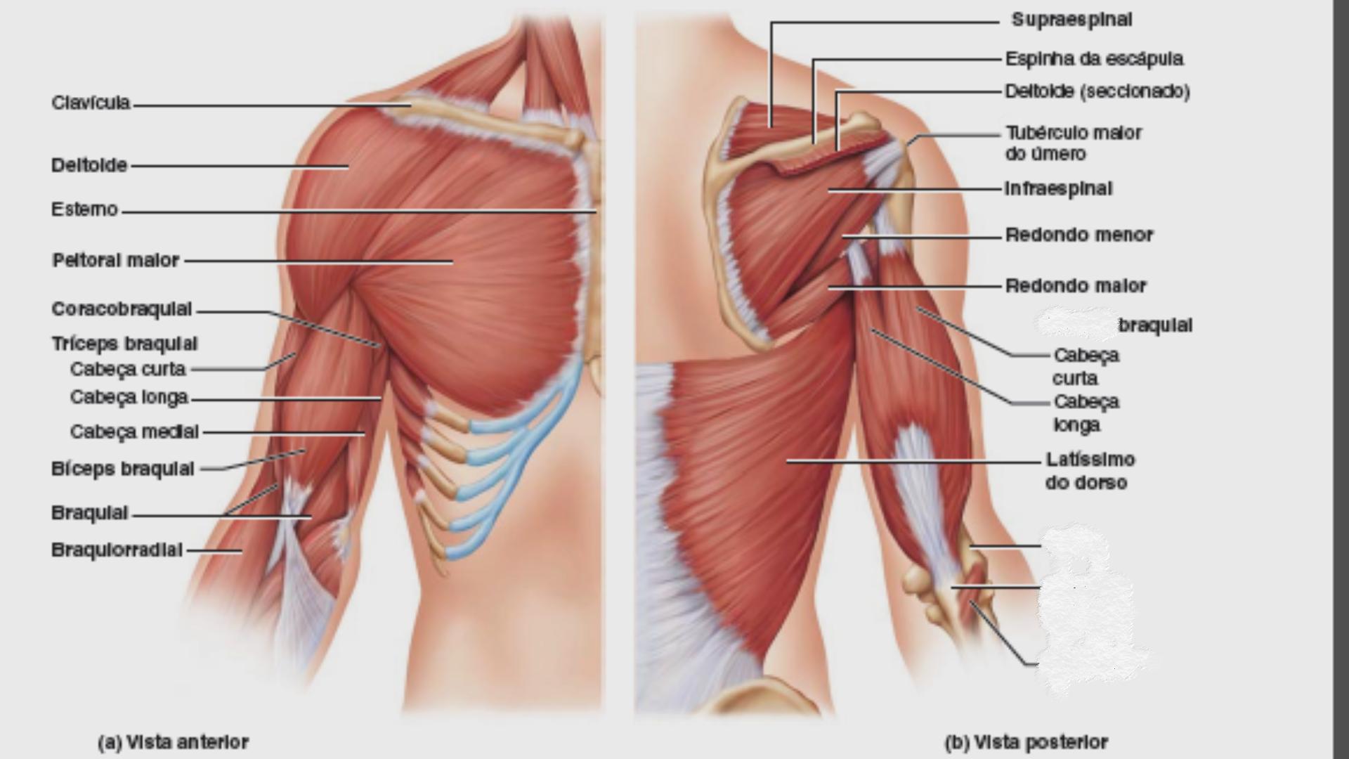 Bicipete: cabeça curta ou longa Tricipete: cabeça longa, lateral ou ...