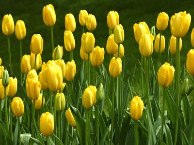Tulips from writing in the woods annikka woods y is for yellow tulips from writing in the woods annikka woods y is for yellow mightylinksfo