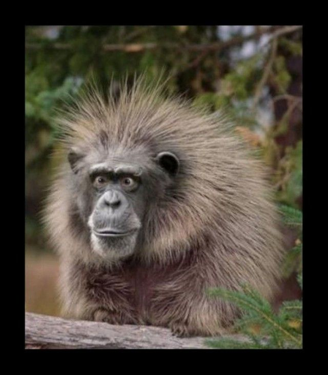 Maybe a cross between a Monkey and a Porcupine?