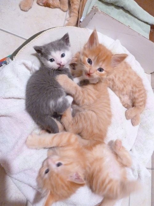 Oh Mom Can We Keep Her This Is Exactly What It Is Like When You Foster Always A Revolving Door And A Welcoming Pa Newborn Kittens Kittens Cutest Kittens