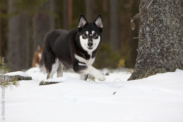 Lapponian Herder Fci Group 5 Spitzes Greenland Dog