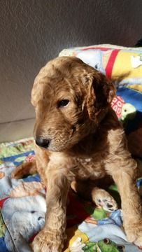 Litter Of 6 Poodle Standard Puppies For Sale In West Sacramento